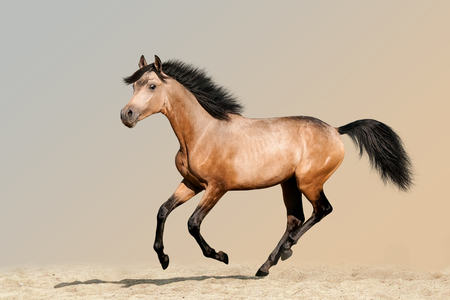 Beautiful buckskin foal running on sandy soil Archivio Fotografico