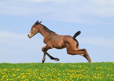 Newborn Trakehner foal is running through meadow  photo
