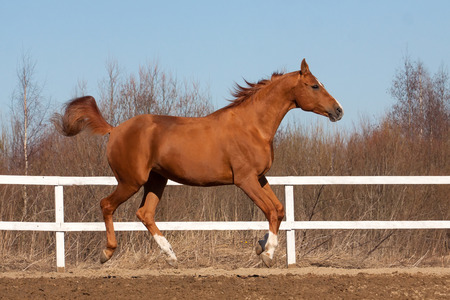 Beautiful mare of Russian Don breed gallops in equestrian arena photo