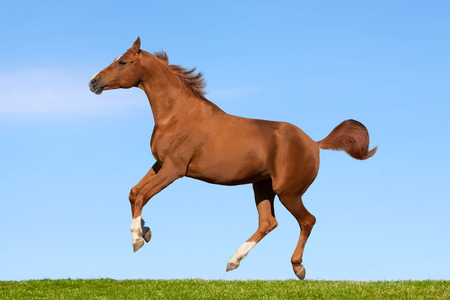 Russian Don horse running through the spring meadow  Reklamní fotografie