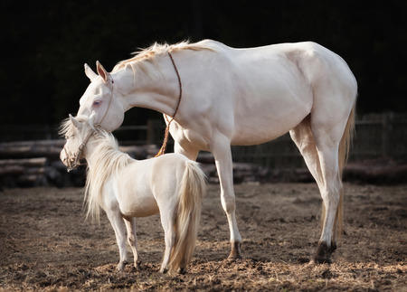 akhal teke: Akhal Teke mare and a stallion of american miniature horse breed