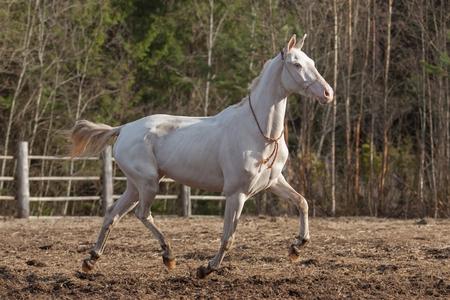 akhal teke: Beautiful Akhal Teke mare running through the farm