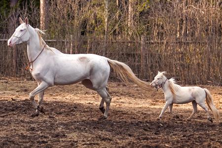 akhal teke: Funny friends: Akhal Teke mare and mini horse stallion