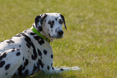 Funny Dalmatian dog looking at camera photo
