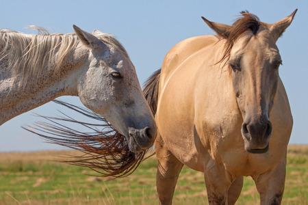 akhal teke: Two Akhal Teke horses in the summer meadow Stock Photo