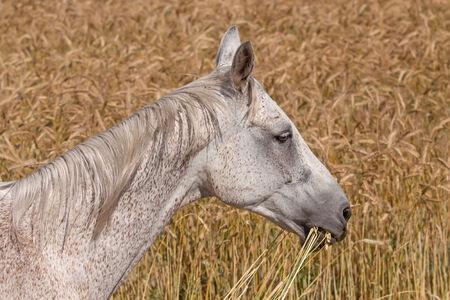 Light grey horse in the rye field photo