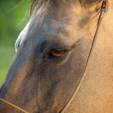 akhal teke: Beautiful Akhal Teke horse in the summer meadow