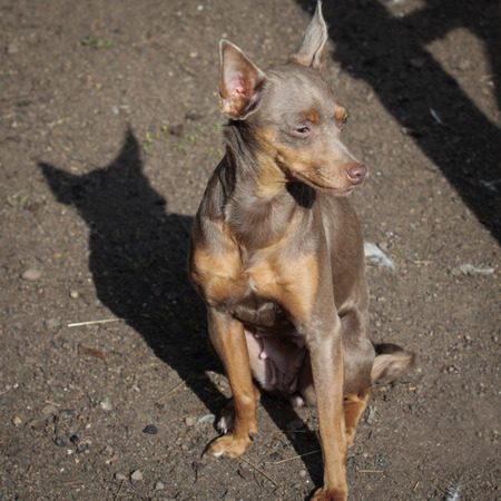 Funny Russian toy terrier sitting outdoors, close up portrait photo