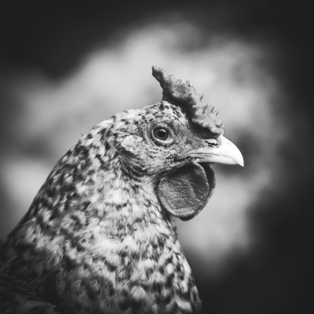 chicken cage: Portrait of a chicken in a cage, close up shot. Stock Photo