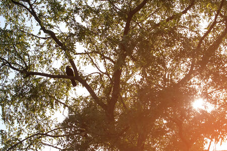 of irradiated: Rook sitting on a tree branch at sunny day Stock Photo