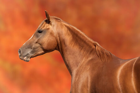 Russian Don horse on bright orange background photo