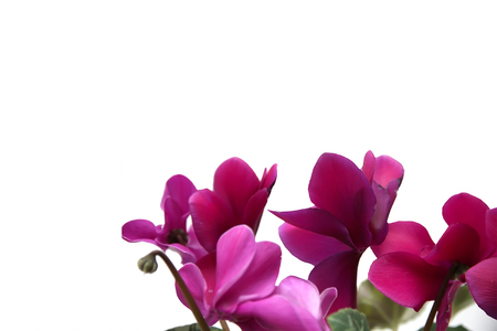 Blooming cyclamen isolated on white