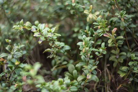 cowberry: Cowberry (Vaccinium vitis-idaea) in spring forest