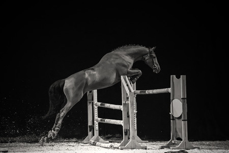 horse jumping: Black and white photo of jumping horse