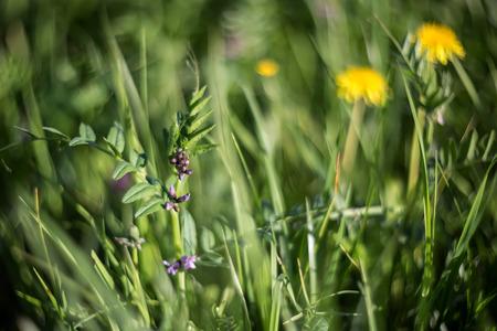vetch: Tufted Vetch (Vicia cracca). Soft focus, beautiful bokeh. Stock Photo