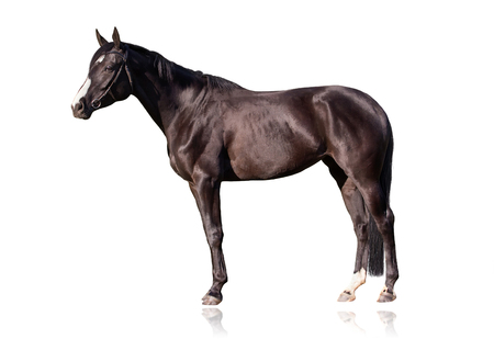 Budyonny horse, 3 years old, portrait standing against white background Archivio Fotografico