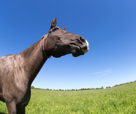 fish eye lens: Akhal Teke horse in the summer meadow. Made by fish eye lens.