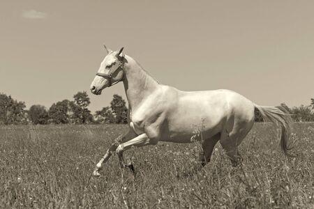 akhal teke: Young Akhal Teke horse gallops through the meadow