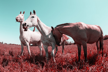 distorted: Herd of horses. Made by fish eye lens. Color is distorted. Stock Photo