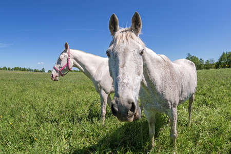 akhal teke: Akhal Teke horse in the summer meadow. Made by fish eye lens.