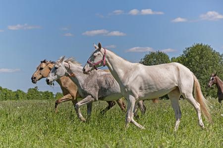 buckskin horse: Three Akhal Teke horses on the summer meadow Stock Photo