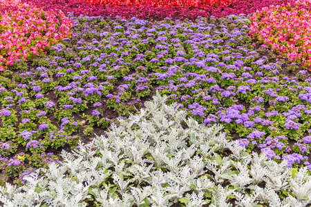 senecio: Senecio cineraria, ageratum and begonia flowers background Stock Photo