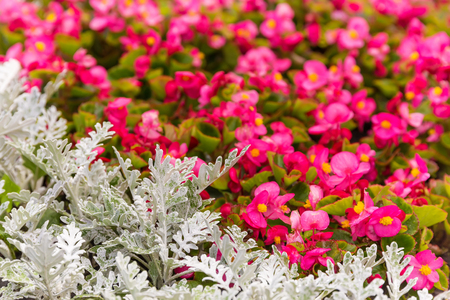 senecio: Senecio cineraria and pink begonia flowers background