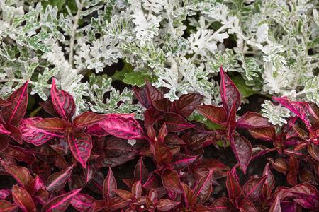 senecio: Senecio cineraria and iresine on flowerbed