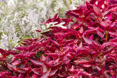 senecio: Senecio cineraria and iresine background