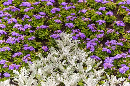 senecio: Senecio cineraria and ageratum flowers background