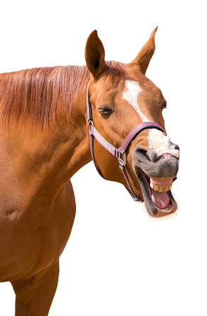 A funny photo of a yawning horse isolated on white
