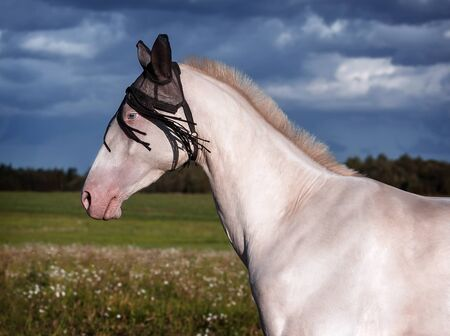 akhal teke: Portrait of a beautiful Akhal Teke horse