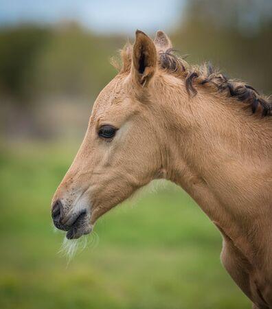 buckskin horse: Newborn foal, closeup portrait outdoors