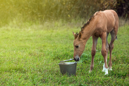caballo bebe: potro reci�n nacido olfatea un cubo de metal