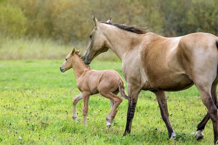 yegua: Dos caballos - yegua y potro - en el pasto del verano