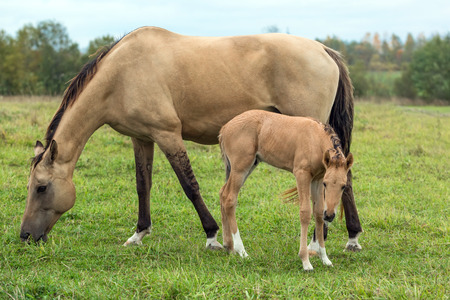 buckskin horse: Two horses - mare and foal - on the summer pasture
