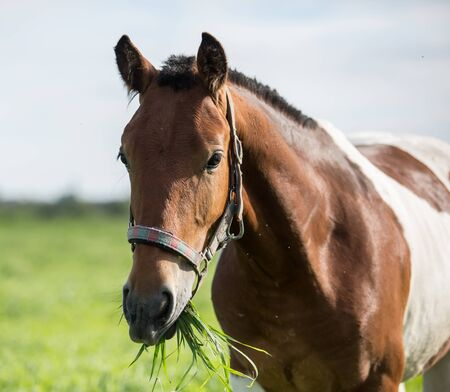 spotted fur: Piebald horse eating grass in the summer pasture