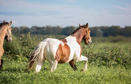 piebald: Horses in the summer pasture at hot summer day