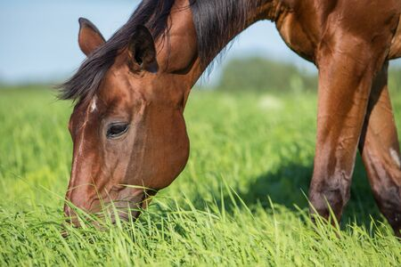 Horse in the summer pasture at hot summer day Archivio Fotografico