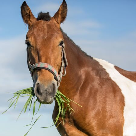 piebald: Piebald horse eating grass in the summer pasture
