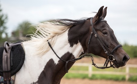 piebald: Piebald horse on arena at summer day Stock Photo