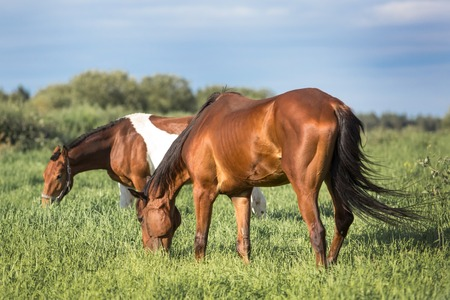 piebald: Horses eating grass in the summer pasture