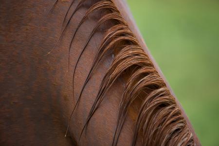 mane: Closeup shot of horse mane after rain
