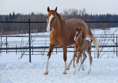 Young foal of Russian Don breed and his mom