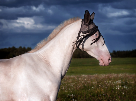 Portrait of a beautiful Akhal Teke horse