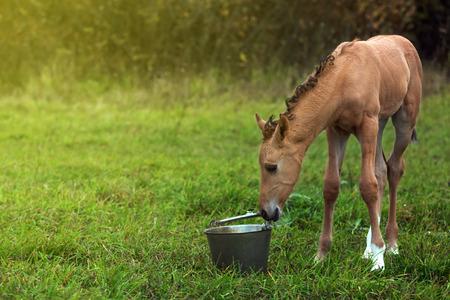 Newborn foal sniffs a metal bucket