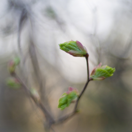 Branch of a linden tree, shallow depth of field. Shot by Soviet lens Helios-40, famous for its soft focus. Stock fotó