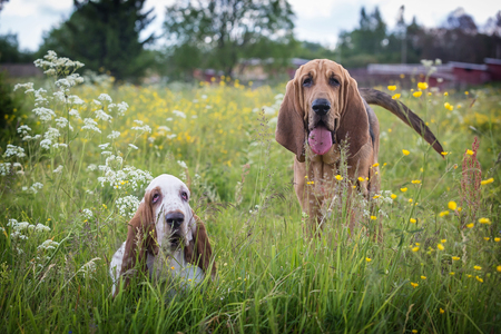 Thoroughbred Bassethound and Bloodhound dogs outdoors at summer day Stock Photo