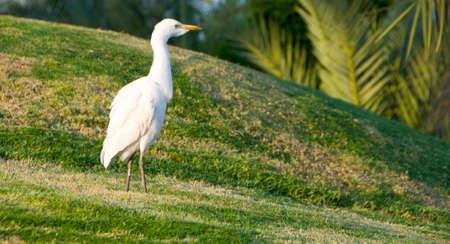 White heron in the field taken in egypt