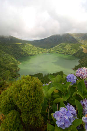 agriculture azores: Hydrangeas flowers on the volcano in azores, Fayal, portugal